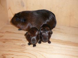 Foto 2 Junge Meerschweinchen möchten zu dir