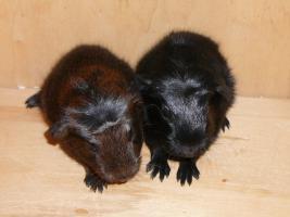 Foto 3 Junge Meerschweinchen möchten zu dir