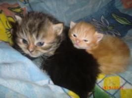 Junge Perser Kitten in liebevolle Hände abzugeben!!
