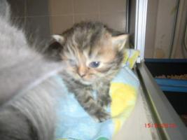 Foto 2 Junge Perser Kitten in liebevolle Hände abzugeben!!