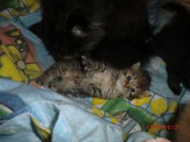 Foto 3 Junge Perser Kitten in liebevolle Hände abzugeben!!