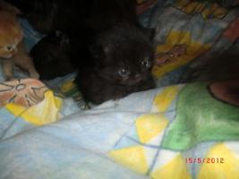 Foto 4 Junge Perser Kitten in liebevolle Hände abzugeben!!
