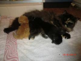 Foto 5 Junge Perser Kitten in liebevolle Hände abzugeben!!
