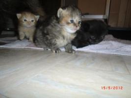 Foto 6 Junge Perser Kitten in liebevolle Hände abzugeben!!