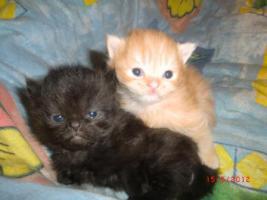 Foto 7 Junge Perser Kitten in liebevolle Hände abzugeben!!