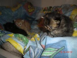 Foto 8 Junge Perser Kitten in liebevolle Hände abzugeben!!