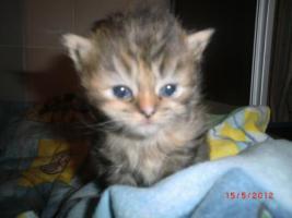 Foto 9 Junge Perser Kitten in liebevolle Hände abzugeben!!