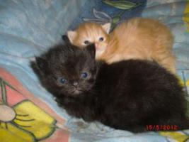 Foto 12 Junge Perser Kitten in liebevolle Hände abzugeben!!