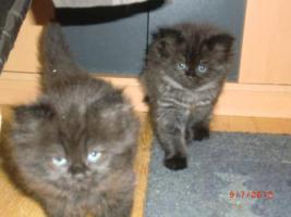 Junge Perser Kitten in liebevolle H�nde abzugeben!!