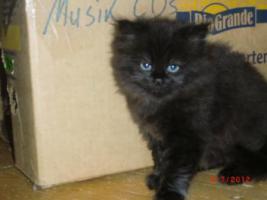 Foto 3 Junge Perser Kitten in liebevolle H�nde abzugeben!!