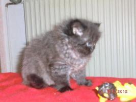 Foto 4 Junge Perser Kitten in liebevolle H�nde abzugeben!!