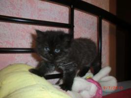 Foto 5 Junge Perser Kitten in liebevolle H�nde abzugeben!!