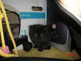 Foto 6 Junge Perser Kitten in liebevolle H�nde abzugeben!!