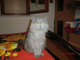 Foto 8 Junge Perser Kitten in liebevolle H�nde abzugeben!!