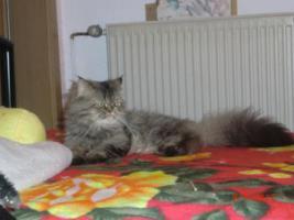 Foto 9 Junge Perser Kitten in liebevolle H�nde abzugeben!!