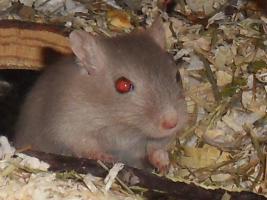Junge Renn Mäuse abzugeben