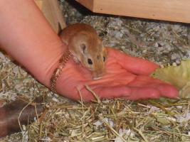 Foto 2 Junge Renn Mäuse abzugeben