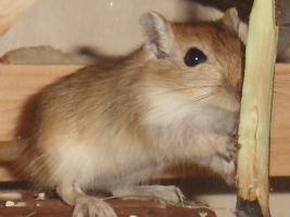 Foto 3 Junge Renn Mäuse abzugeben
