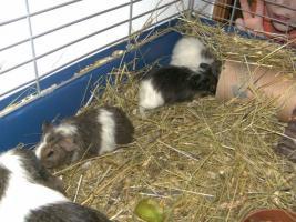 Foto 3 Junge süße Meerschweinchen