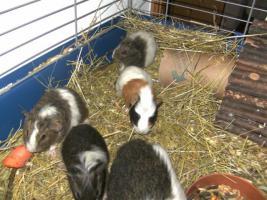 Foto 5 Junge süße Meerschweinchen