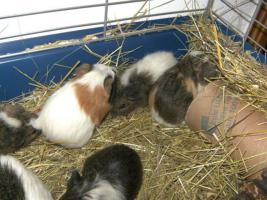 Foto 6 Junge süße Meerschweinchen