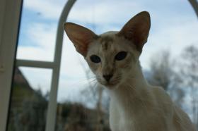 Foto 2 Junge, verschmuste Siamkatze