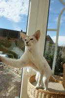 Foto 3 Junge, verschmuste Siamkatze