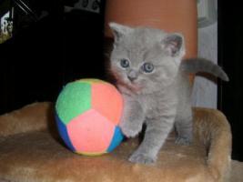 Junger BKH Kater - 7 Monate, geimpft, entwurmt und kastriert in liebevolle Hände zu verkaufen. Der Kater hört auf den Namen Gizmo, mag andere Katzen und wächst mit meiner 2jährigen Tochter auf. ER ist also ein verschmuster, liebevoller Zeitgefährte  Mehr