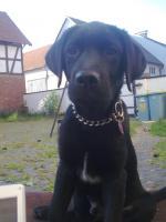 Junger Labrador-Rüde sucht dringend ein neues Zuhause!!!