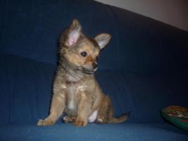 Foto 4 Junger Reinrassiger Mini Chihuahua