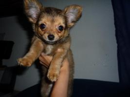 Foto 5 Junger Reinrassiger Mini Chihuahua