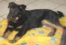 Junger Terrier sucht liebe Familie
