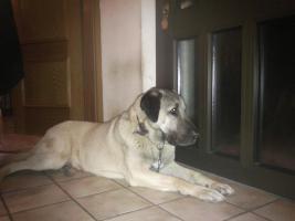 Junghund Anatolischer Hirtenhund (Kangal)