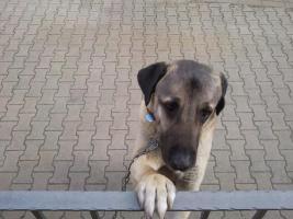 Foto 2 Junghund Anatolischer Hirtenhund (Kangal)