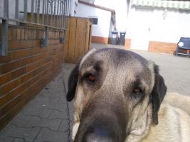 Foto 3 Junghund Anatolischer Hirtenhund (Kangal)