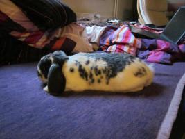 kaninchen zu verschenken in d sseldorf von privat hase kaninchen. Black Bedroom Furniture Sets. Home Design Ideas