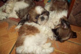 Foto 3 KLEINE SÜSSE SHIH-TZU BABYS