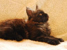Kätzchen Maine-Coon-Katze - Kater mit Papiere