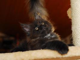 Foto 3 Kätzchen Maine-Coon-Katze - Kater mit Papiere