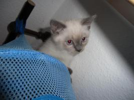 Foto 3 Kätzchen abzugeben