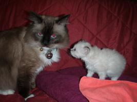 Kätzchen mit blauen Augen