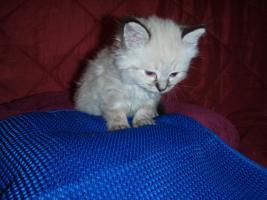 Foto 2 Kätzchen mit blauen Augen