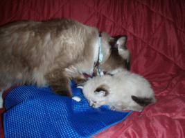 Foto 4 Kätzchen mit blauen Augen