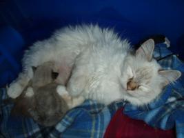 Foto 6 Kätzchen mit blauen Augen