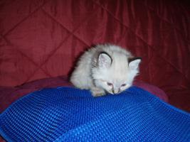 Foto 8 Kätzchen mit blauen Augen