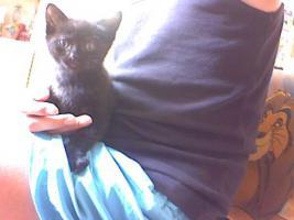 Foto 2 Kätzchen , zwei  8 Wochen alte Kater