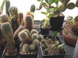 Foto 2 Kakteensammlung, ca. 85 Pflanzen