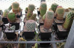 Foto 3 Kakteensammlung, ca. 85 Pflanzen