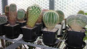 Foto 4 Kakteensammlung, ca. 85 Pflanzen