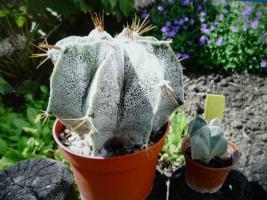 Kaktus Astrophytum